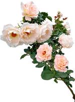 rose_i_rococo_01