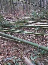 切り出した竹