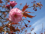 登別も桜が咲きましたよ