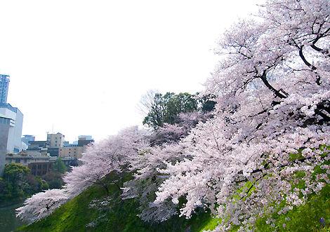 桜 九段 東京 日本武道館