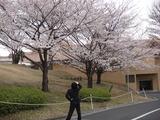 桜のサクラ