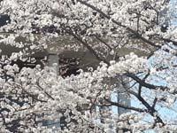 桜満開20130326_111452