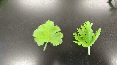 ペラルゴニウム葉っぱ