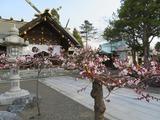 刈田神社の梅1