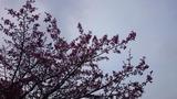 刈田神社の桜2016.4.26