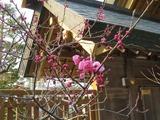 刈田神社の梅2