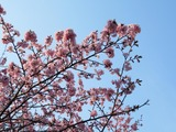 刈田神社の桜2