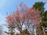 刈田神社の桜1