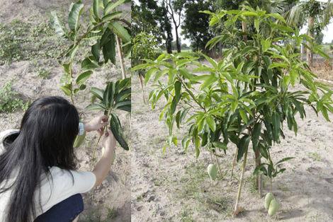 マンゴー 挿し木 収穫