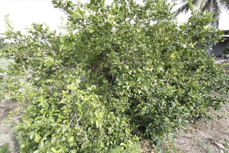マナオの木