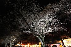 万博 夜桜