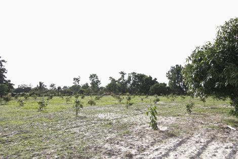 ワージー農園 マンゴー挿し木