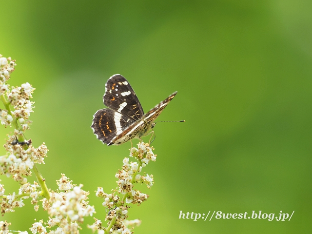 サカハチチョウ1