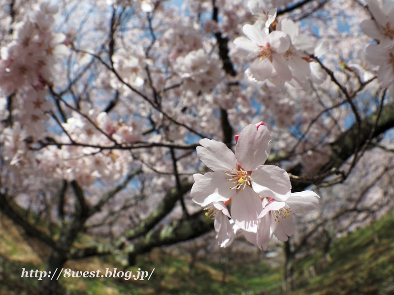 高遠桜13