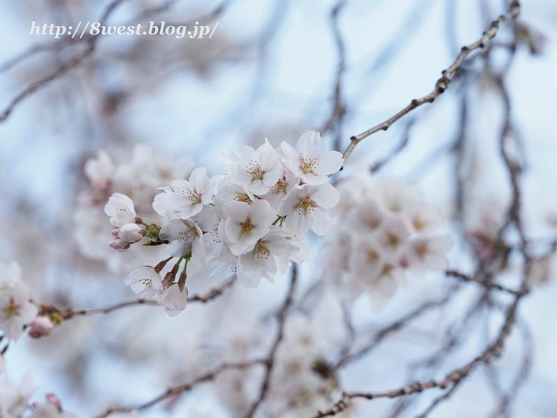 天空一本桜25