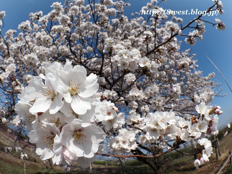 天空一本桜12