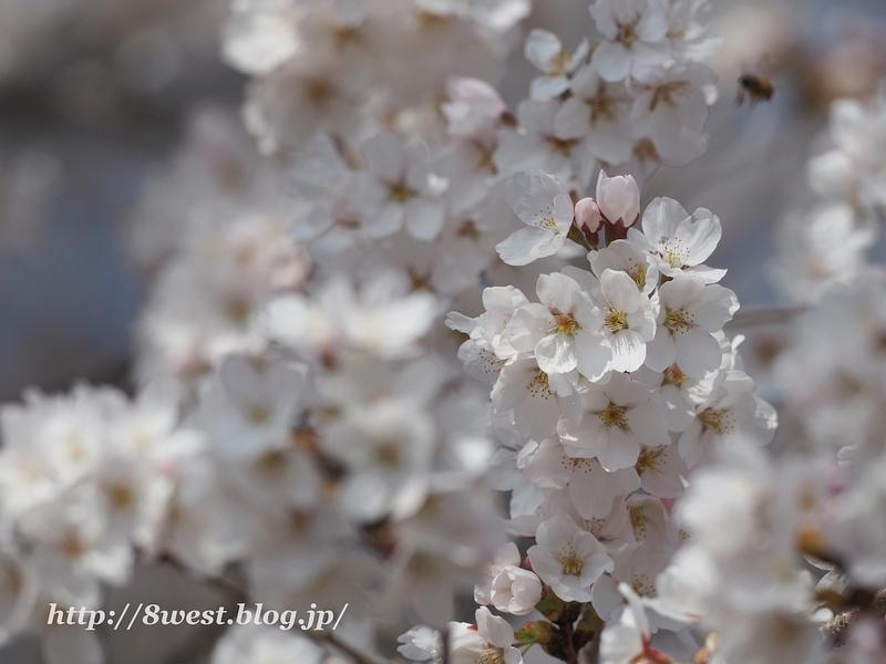 北熊井城址の桜11