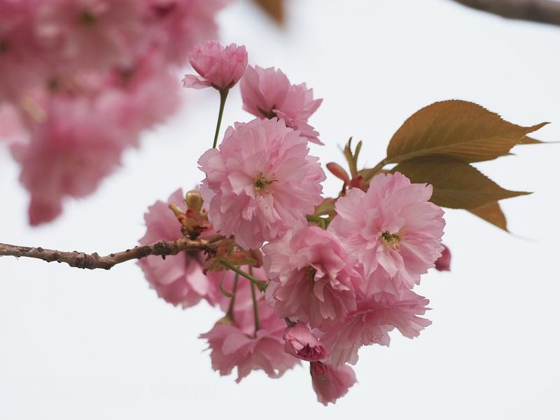 八重桜08