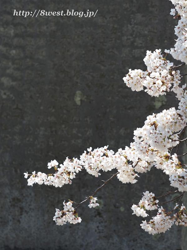 御野立桜10