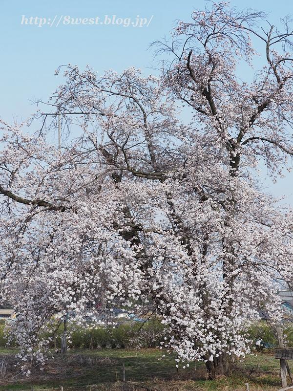 天空一本桜02