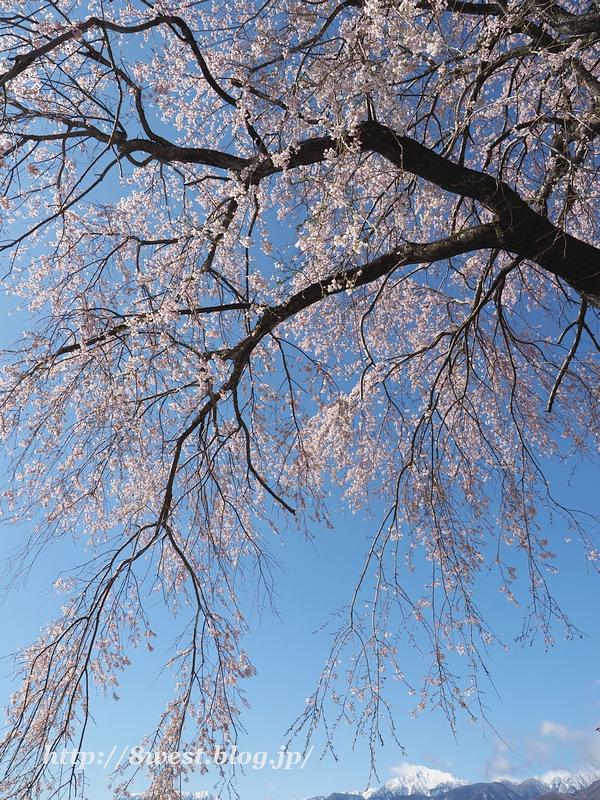葛窪枝垂桜13