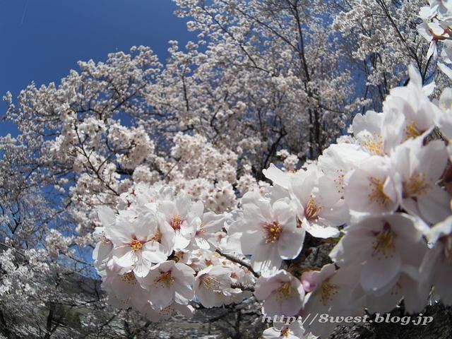 無量寺の桜10