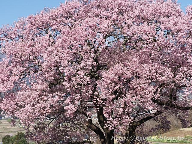 上ノ平の桜01