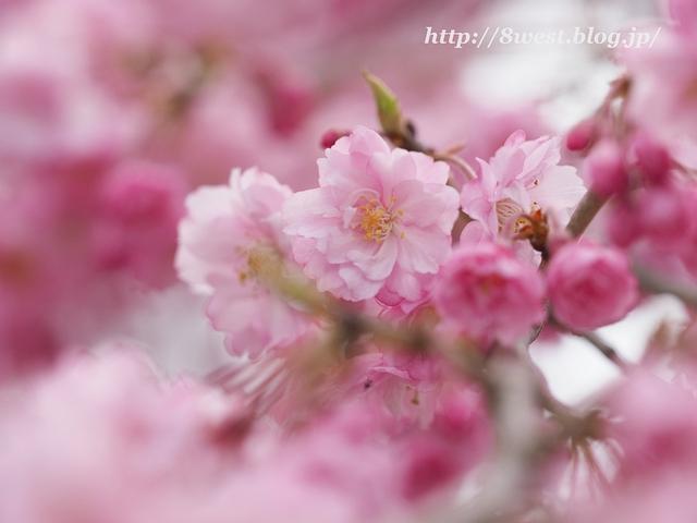 井戸尻桜08