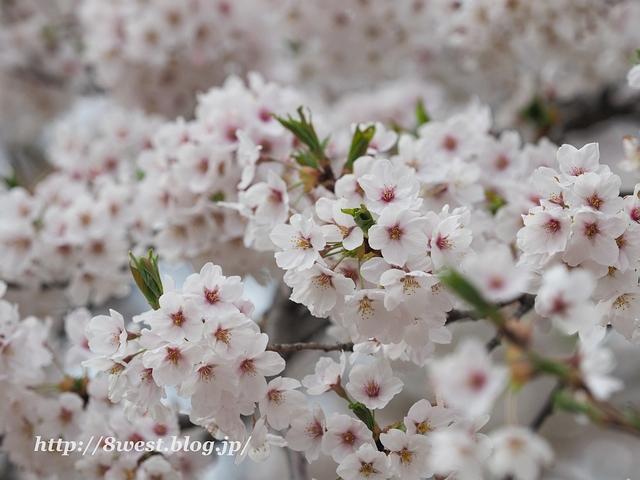 御野立桜4