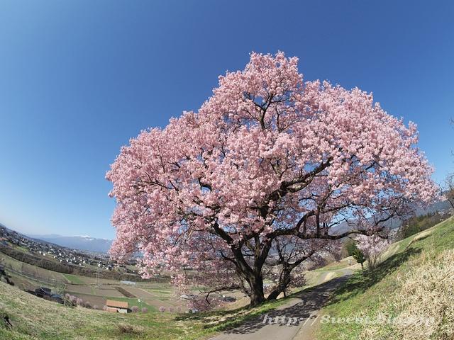 上ノ平の桜07