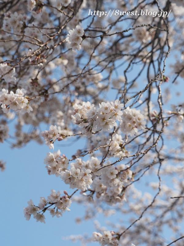 天空一本桜24
