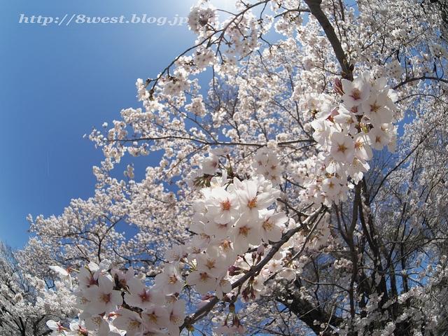 無量寺の桜11