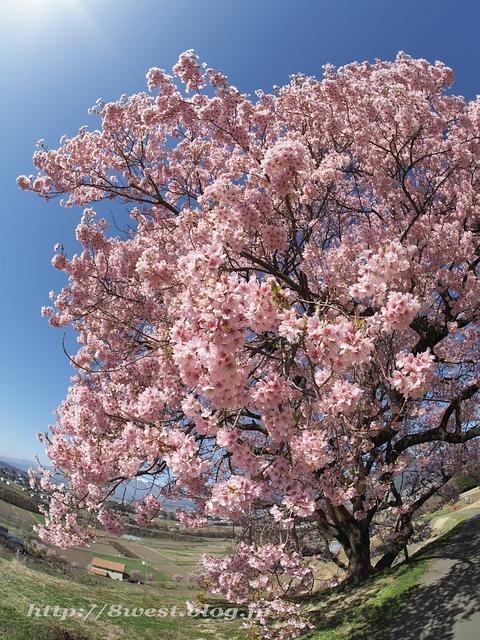 上ノ平の桜06