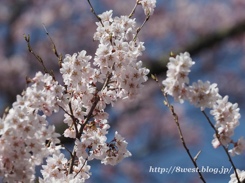 高遠桜31