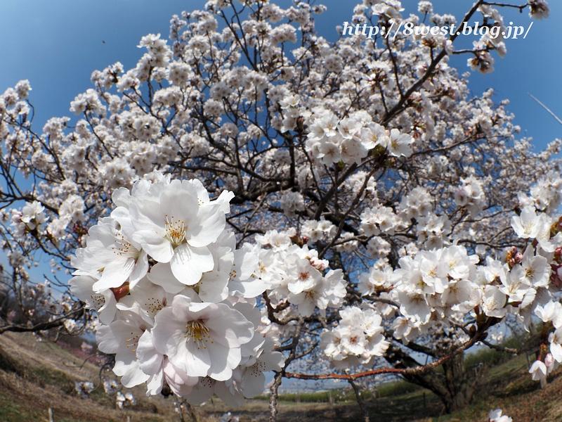 天空一本桜09