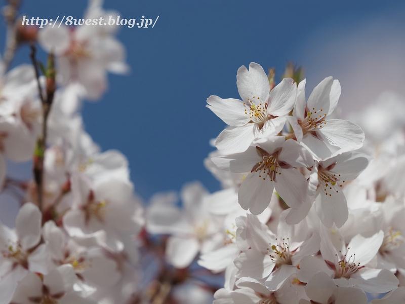 高遠桜44