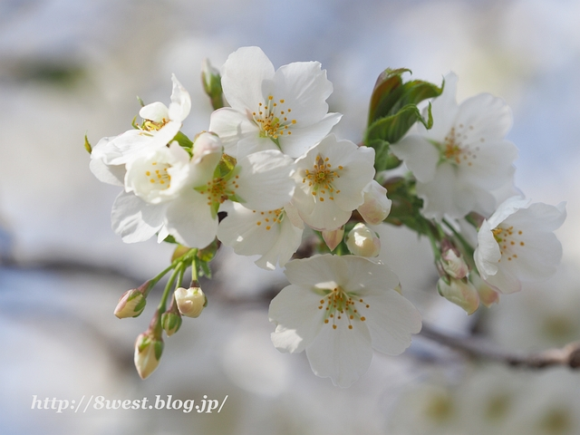 井戸尻桜05