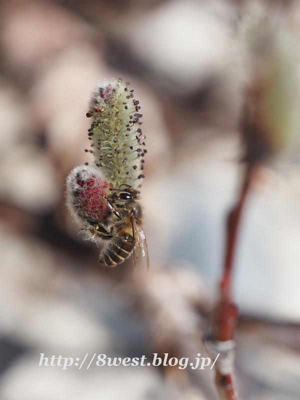 日本蜜蜂1