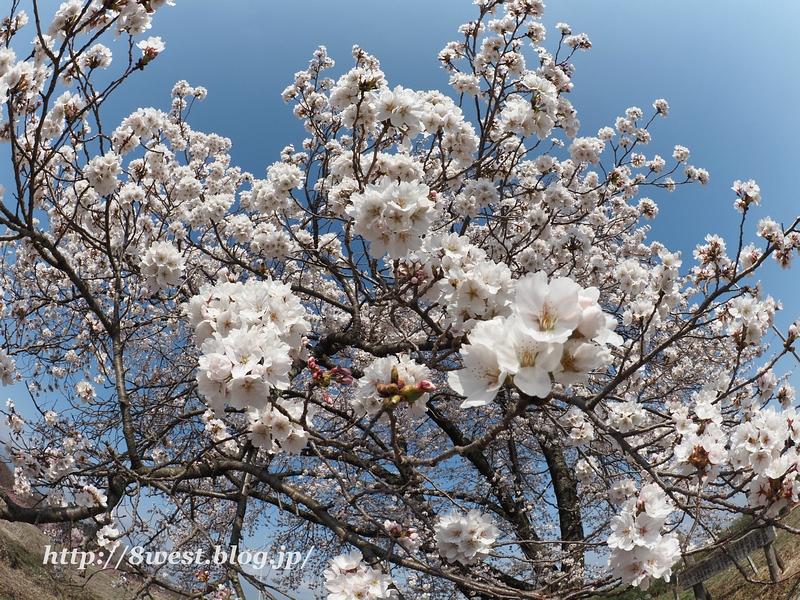 天空一本桜10