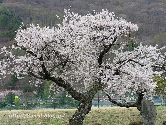御野立桜1
