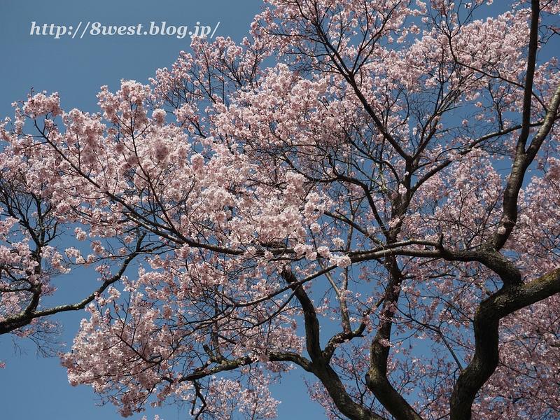 高遠桜25