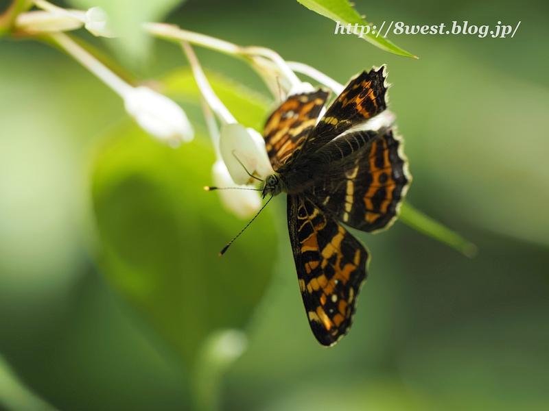 サカハチチョウ02