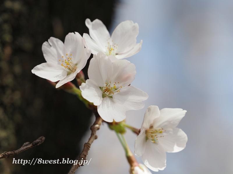 北熊井城址の桜13
