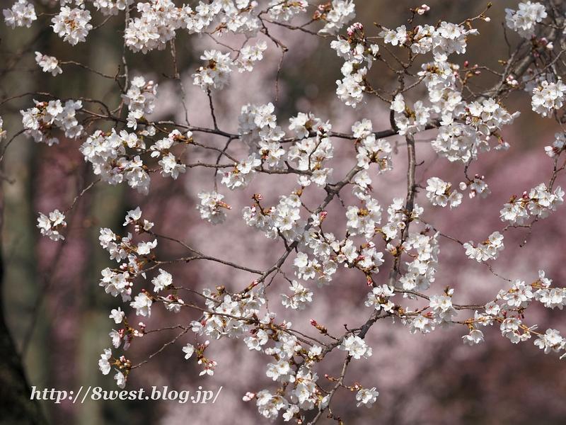 北熊井城址の桜09