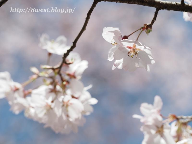 高遠桜20