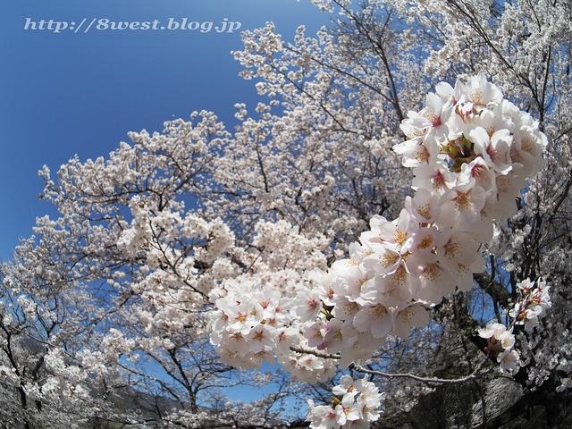 無量寺の桜12