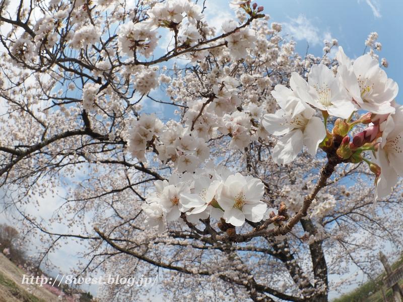天空一本桜35