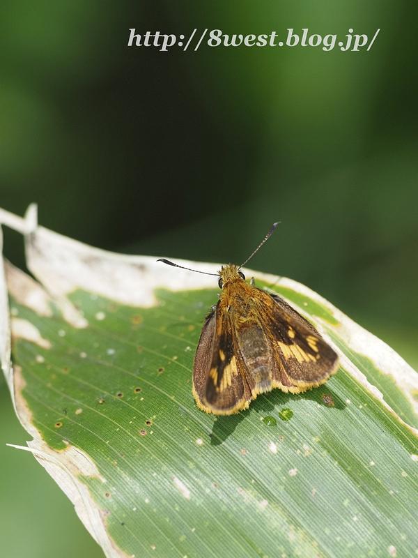 ヒメキマダラセセリ2