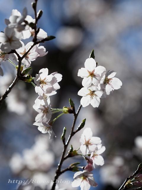 日輪寺の桜02