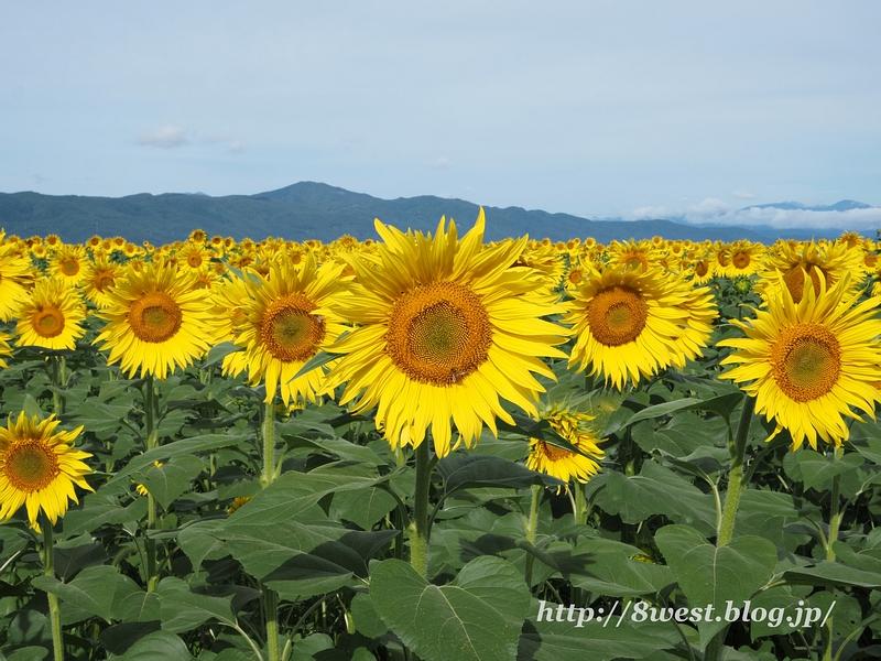向日葵と守屋山
